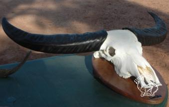 Ausztrália vízibivaly vadászat