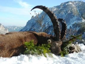 Alpesi kőszáli kecske vadászat