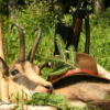 Ausztria alpesi zerge vadászat