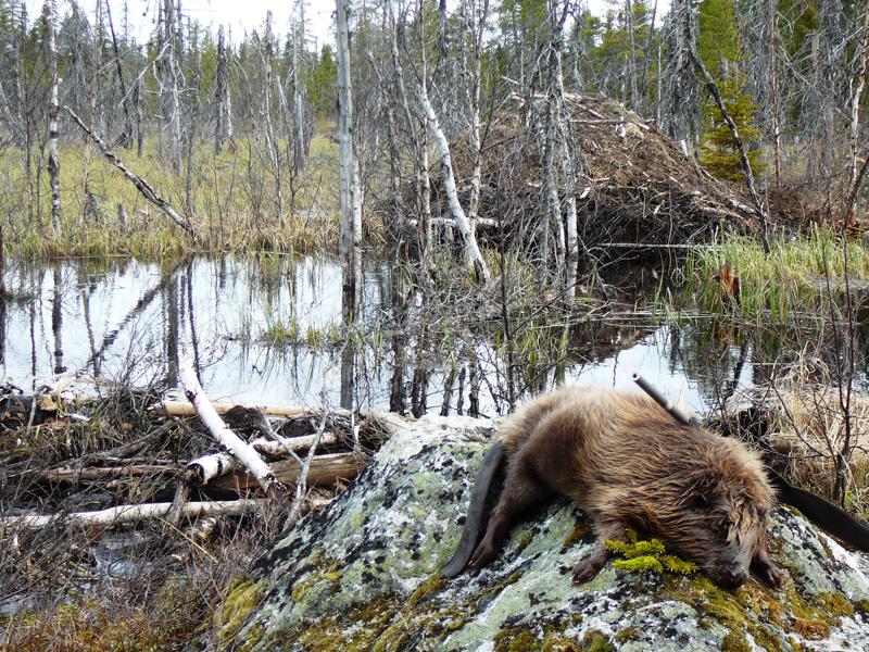Hódvadászat Svédország