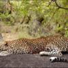Zimbabwe leopárd vadászat
