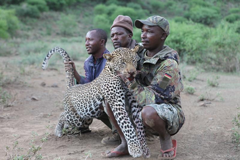 Tanzánia leopárd vadászat