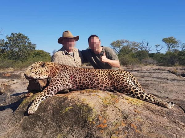 Leopárd vadászat Zimbabwében