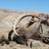 Mongólia kőszáli kecske vadászat