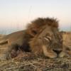 Zimbabwe oroszlán vadászat