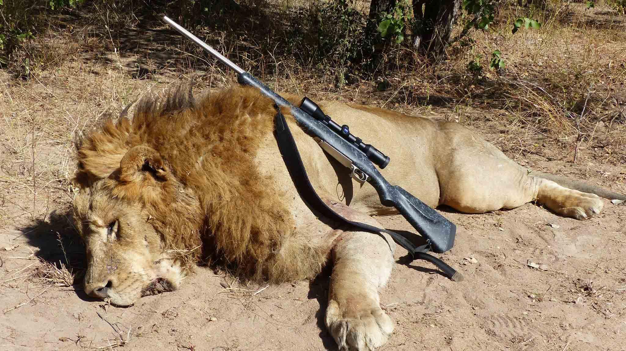 Oroszlán vadászat Zimbabwében
