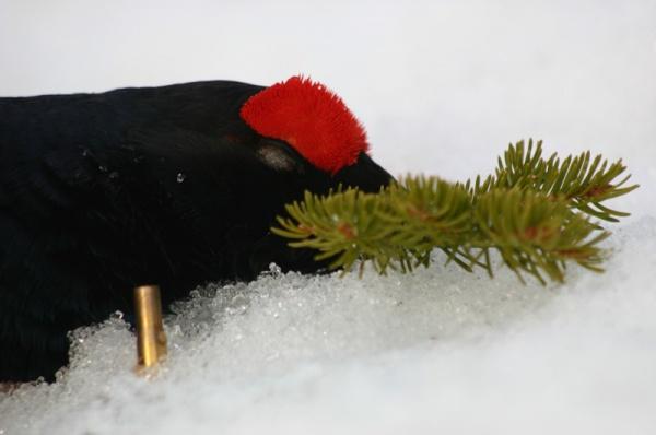 Ausztria nyírfajd vadászat