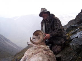 Dall kos - Alaszka