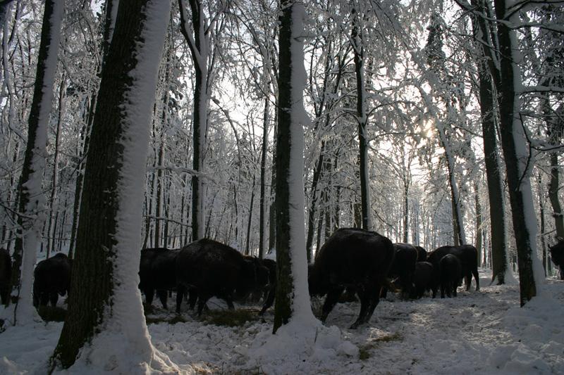 Fehéroroszország európai bölény