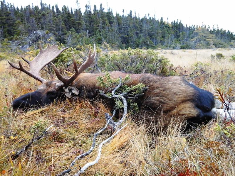 Kanada, Új-Fundland, jávorszarvas vadászat