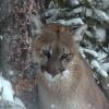 Kanada, BC, puma vadászat