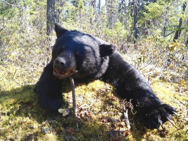 Kanada fekete medve vadászat Labrador
