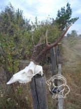 Kazahsztán Szibériai őzbak