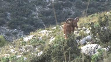Sörényes juh vadászat, Spanyolország vadászat