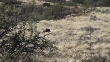 Bontebok vadászat, Dél-Afrika vadászat