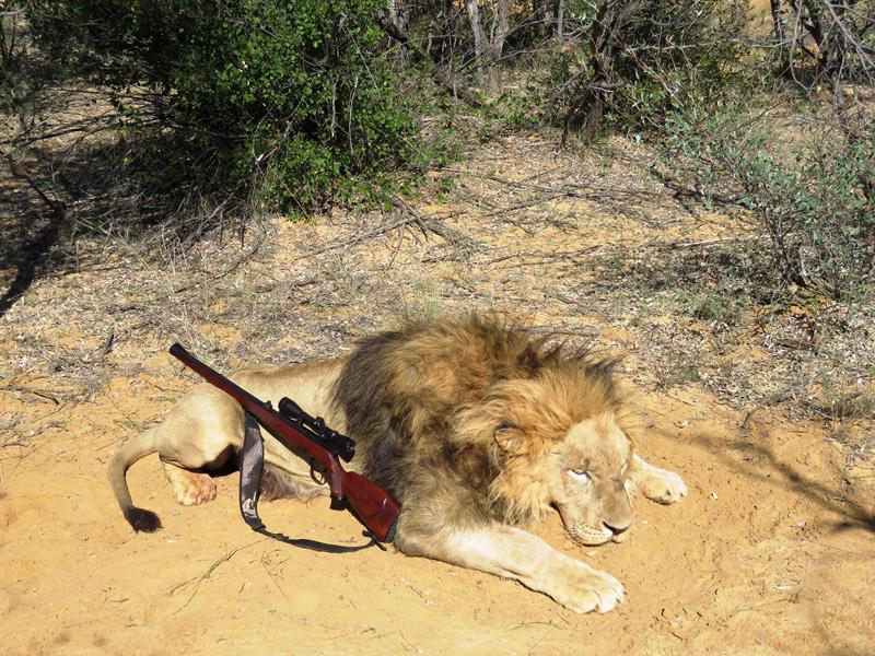 Oroszlán vadászat Dél-Afrikában