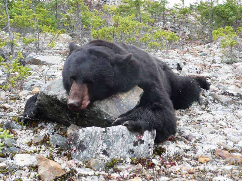 fekete medve vadászat, Labrador