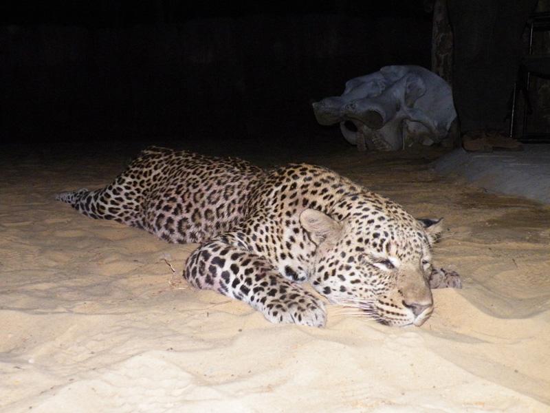 leopárd vadászat Zimbabwe